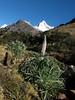 Lupinus weberbauerii (Llamacoral 3750m - Taullipampa 4150m, Cordillera Blanca)