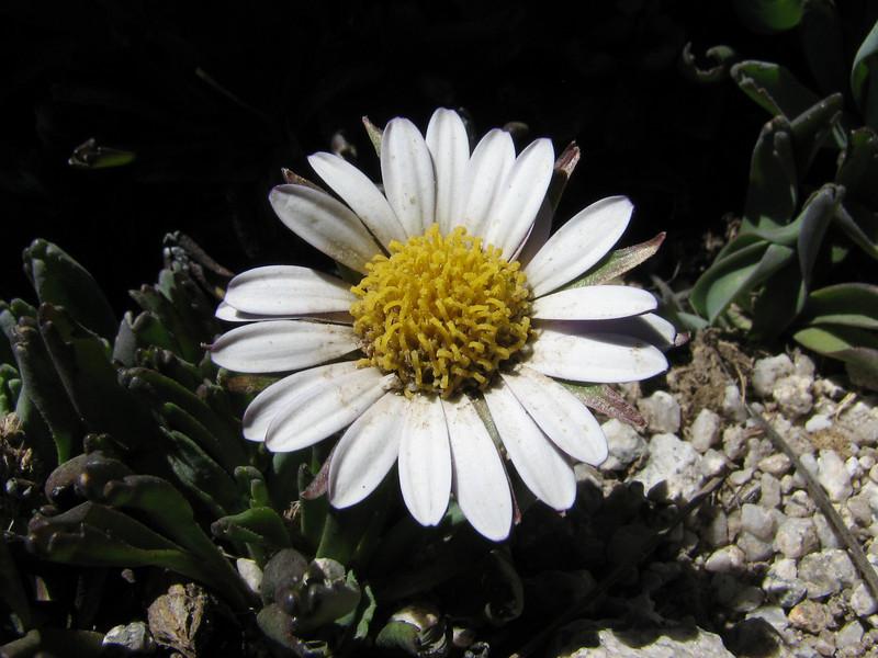 Werneria orbingyana