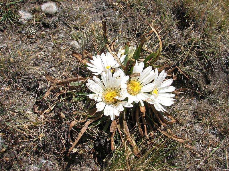 Werneria nubigena, Jancarurish 4250m - Osoruri 4860m pass - Osoruri camp 4550m