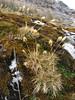habitat with grasses, Calamagrostis / Deyeuxia ovata