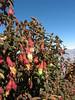 Brachyotum ledifolium, Lake Cullicocha 4628m - Hualcayan 3150m