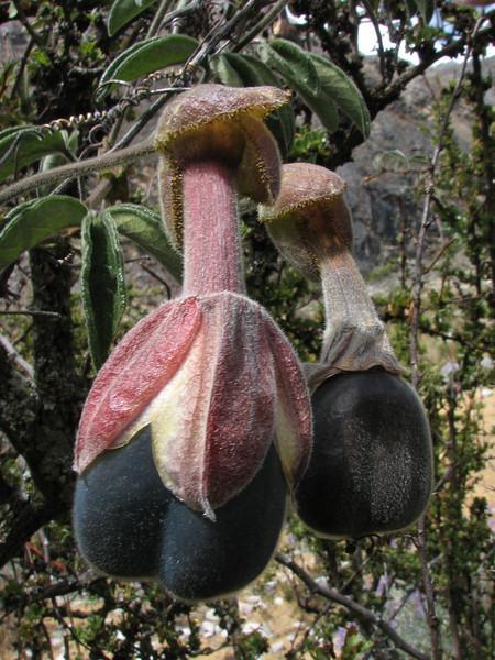 Passiflora trifoliata