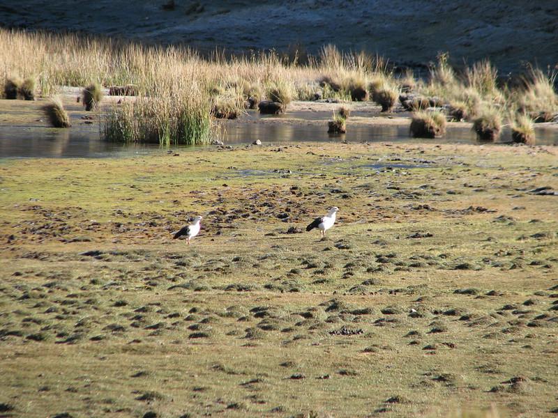 Chloephaga melanoptera (Andean goose), Lake Garampayoc-chica