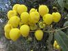 Calceolaria aff. cypripediiflora, (Llanganuco valley 4100m)