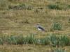 Vanellus resplendes (Andean lapwing)