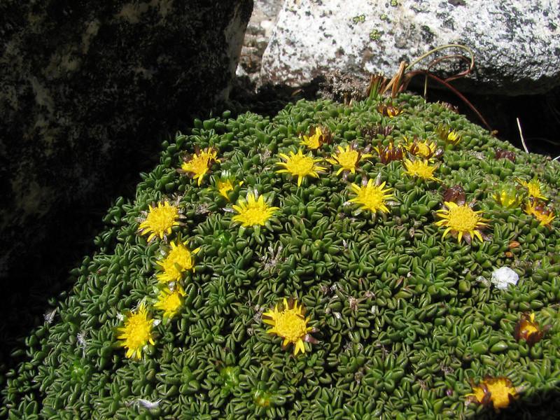 Werneria weberbaueriana