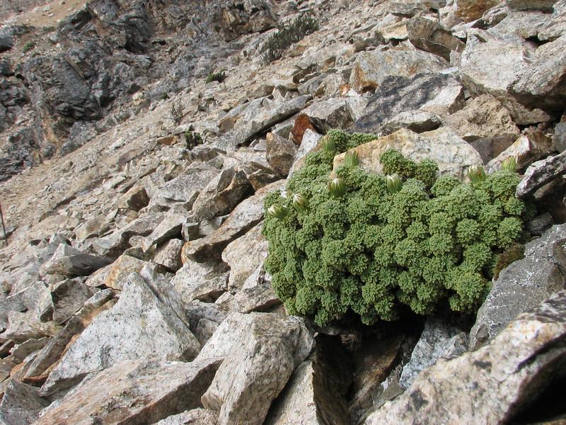 Werneria dactylophylla, Quara Quara pass 4840m
