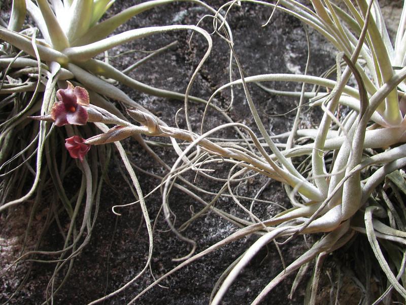 Tillandsia humilis (syn. auroburnea) [determination by Eric Gouda, University Utrecht NL]