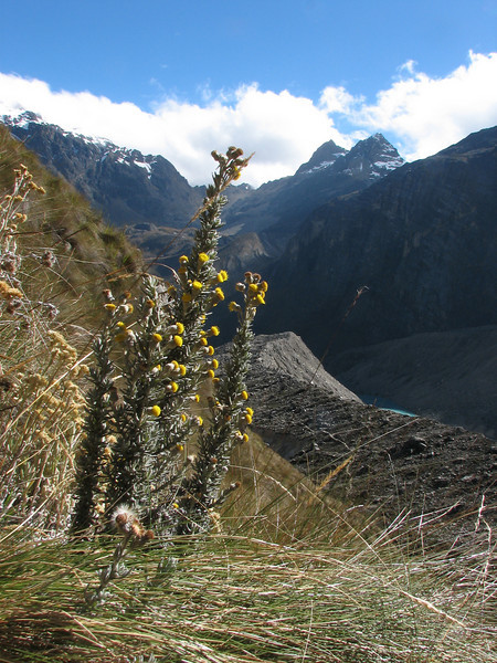 Senecio spec. ?? Jancarurish 4250m - Osoruri 4860m pass - Osoruri camp 4550m