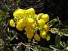 Calceolaria aff. cypripediiflora, near Calamina 3950m