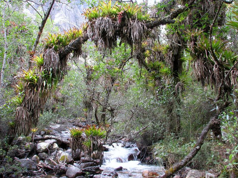 Tillandsia violascens, Llanganuco valley 4100m. Parc Nacional Huascaran, Cordillera Blanca  (Identification: Walter Till, University Vienna Austria)