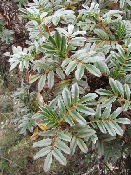 Polylepis ssp.