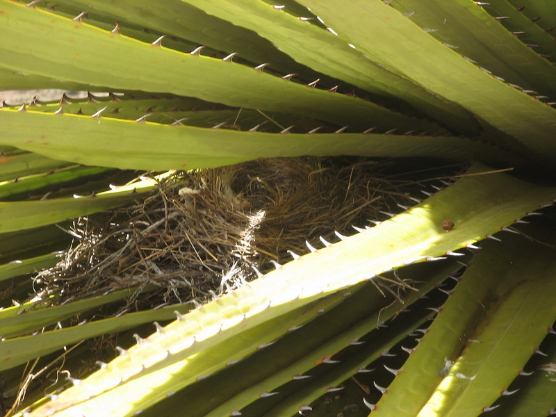 nest of a hummingbird, (NL: nest kolibrie), Puya raimondii, Huinchus 4300m.