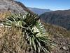 Valeriana rigida (syn. Phyllactis rigida), Osoruri pass 4860m