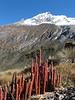 Lycopodium crassum (Taullipampa 4150m - Punte Union 4700m.(pass) - Tuctupampa 4100m. Cordillera Blanca)