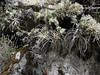 Tillandsia humilis (syn. auroburnea) [determination by Eric Gouda, curator Utrecht Botanical Gardens NL]