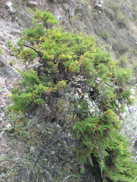 Hypericum laricifolium (Llanganuco valley 4100m. Parc Nacional Huascaran, Cordillera Blanca)