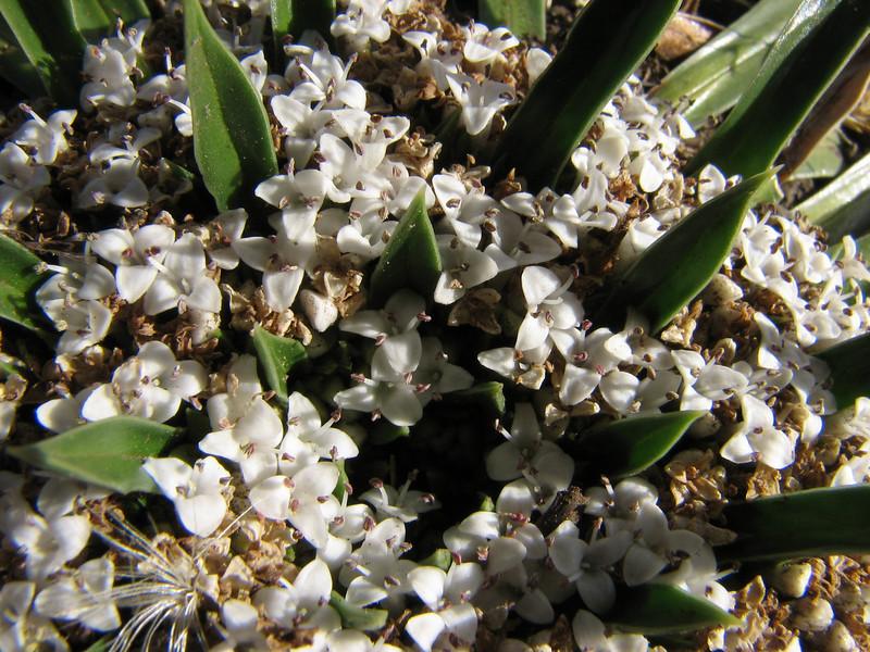 Valeriana rigida (syn. Phyllactis rigida) Jancarurisch 4250m