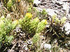Xenophyllum ciliolatum