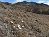 Hypochoeris taraxacoides, near the Ararapass 4770m