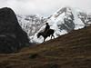 herdsman of Lama glama (Lama)