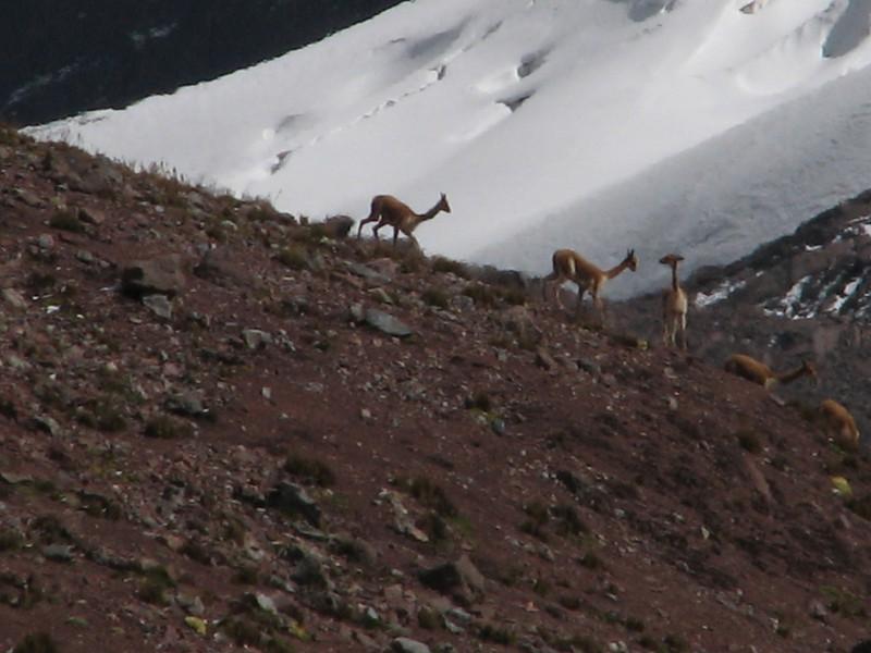 Vicugna vivugna (Vicuna 3500-5000m) near the Campa pass 5030m-