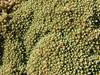 cushion plant of Pycnophyllum cf filiforme (Caryophyllaceae) Upispampa 4450m-Ararapass 4770m