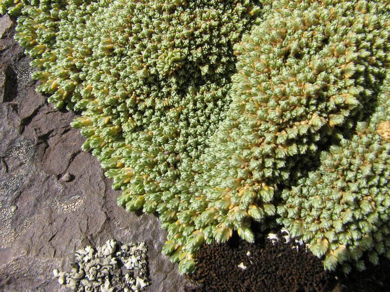 Pycnophyllum cf filiforme, Upispampa 4450m-Ararapass 4770m