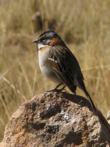 Zonotriochia capensis (Rufous-collared Sparrow)