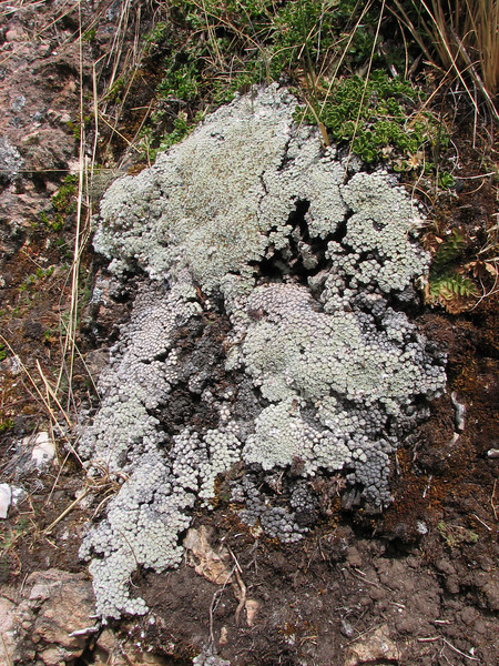 cushion plant of Mniodes spec. near Auzangate pass 4870m