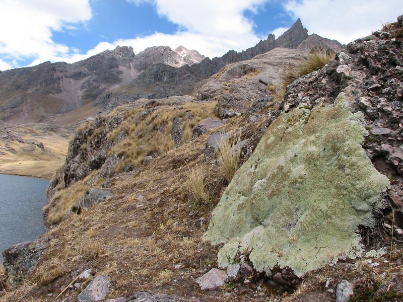 Mniodes spec. near Auzangate pass 4870m