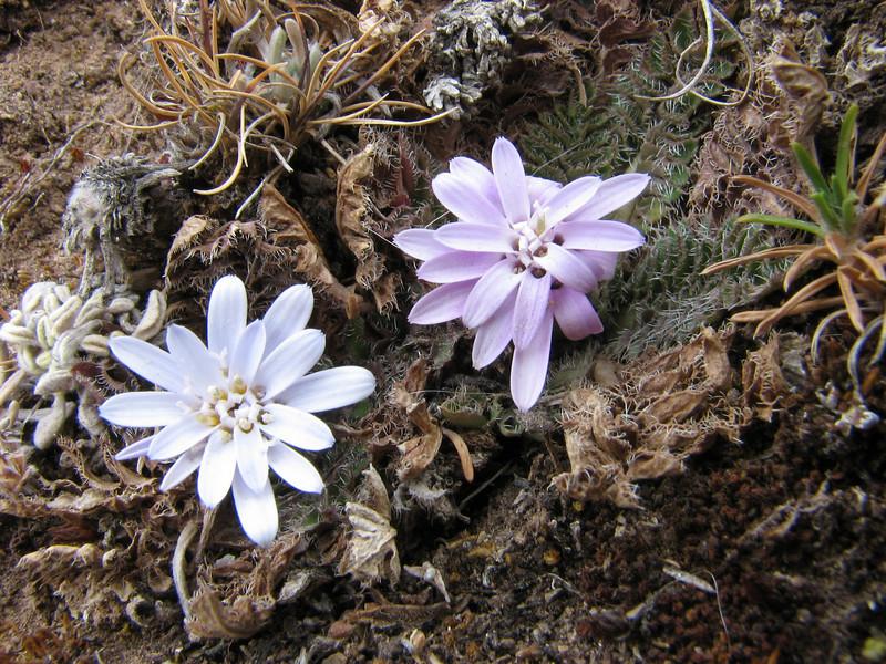 Perezia pinnatifidia (white - blue violet)