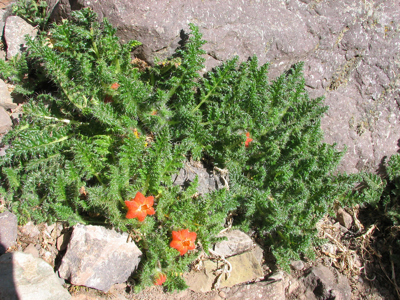 Caiophora andina, Upispampa 4450m-Ararapass 4770m