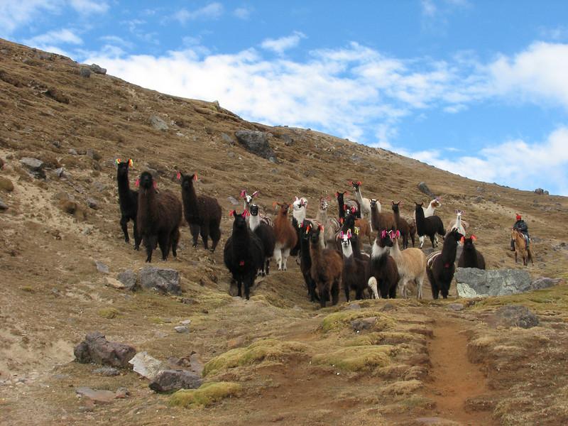 domesticated Lama glama (Lama)