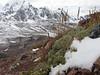 Lupinus breviscapus,  -Campa pass 5030m-