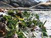 wet habitat of Senecio breviscapus