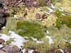 Senecio gamolepis and Pycnophyllum molle,  -Campa pass 5030m-