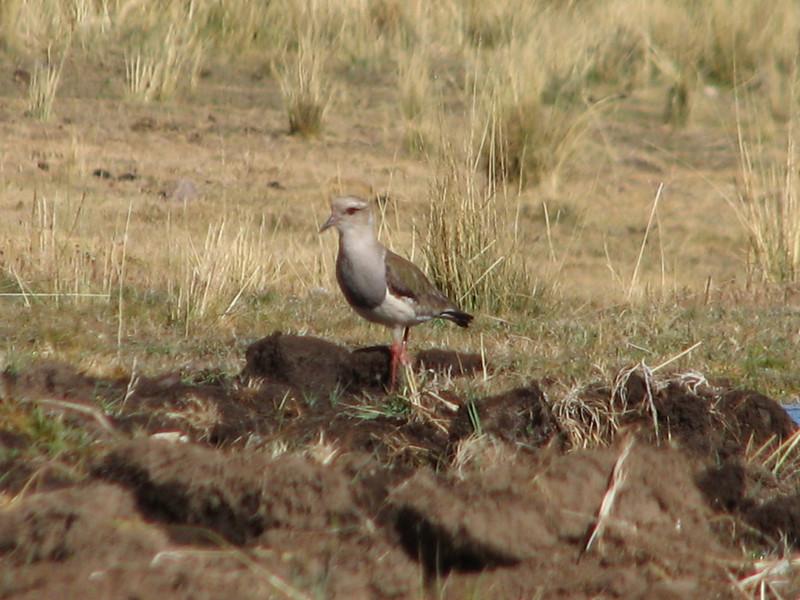 Vanellus resplendes (Andean lapwing)(NL: Andes kiviet)