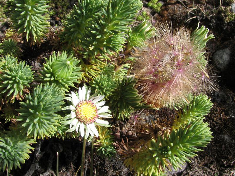 Werneria poposa  (syn. Xenophyllum poposum)