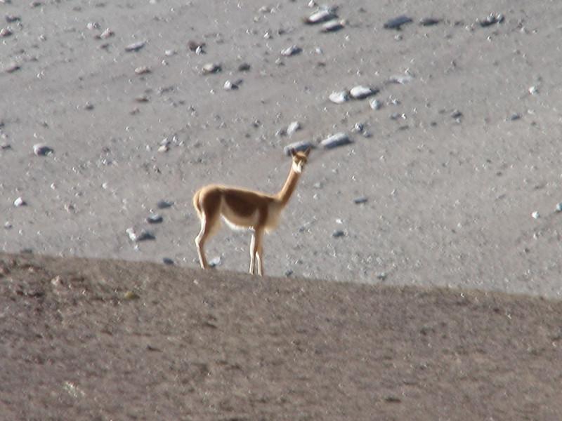 Vicugna vivugna (Vicuna 3500-5000m)