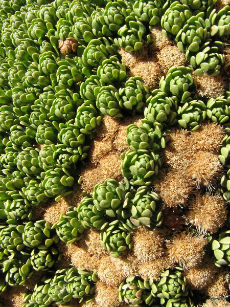 Baccharis cf. magellanica