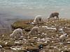 Lama pacos (Alpaca)