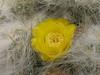 Austrocylindropuntia floccosa