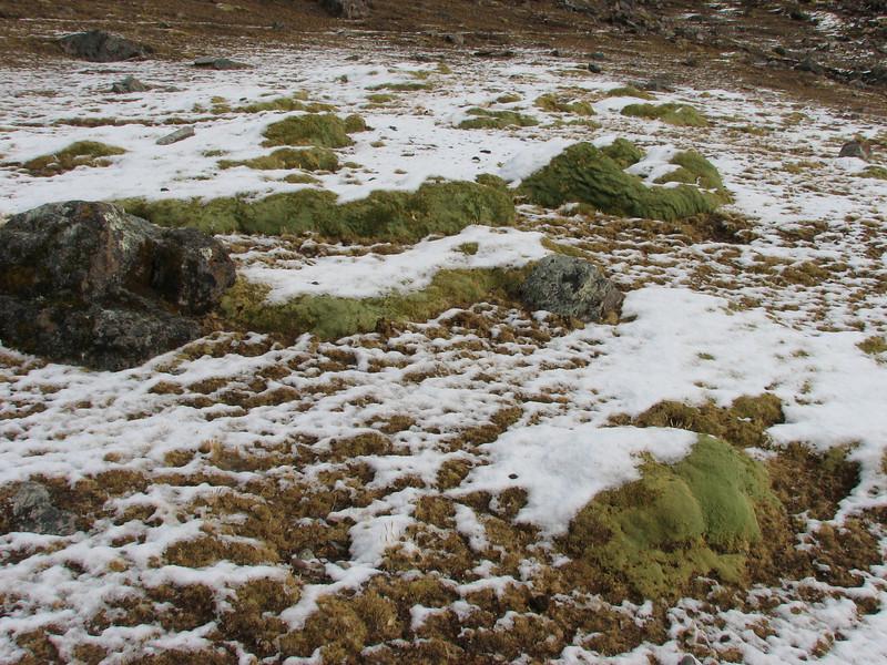 cushion plants, Teccla Cocha 4800m-campapass 5030m-Pacchanta 4300m