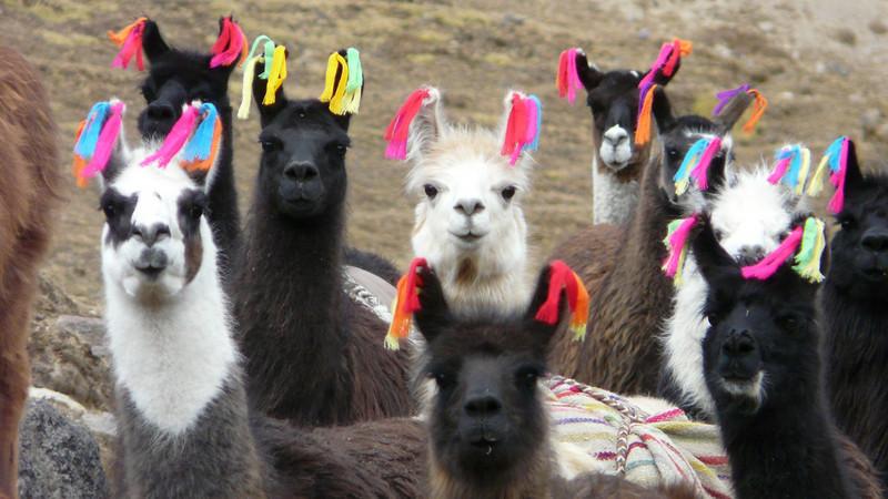 Lama glama (Lama) [domesticated]