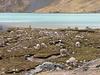 Lama pacos(Alpaca)