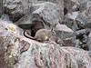 Lagidium peruanum (Vizcacha until 5000m) Teclla cocha 4800m.