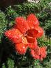 Caiophora andina