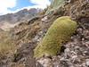 cushion of Pycnophyllum  spec. near Auzangate pass 4870m