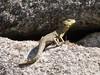 Lizard, Machu Picchu 2430m
